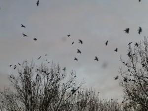aanvliegen van kraaien