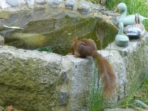 inheemse eekhoorn heeft het waterbassin gevonden