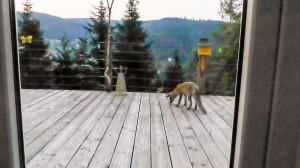 jonge vos op ons terras in het Fichtelgebergte