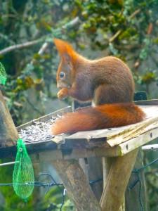 inheemse eekhoorn (rood)