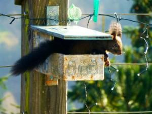 Amerikaanse eekhoorn in roodborstkastje