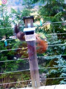 strijd tussen de rode en de zwarte eekhoorn