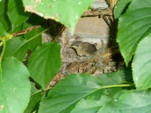 nest met winterkoning
