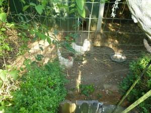 mijn twee kippen