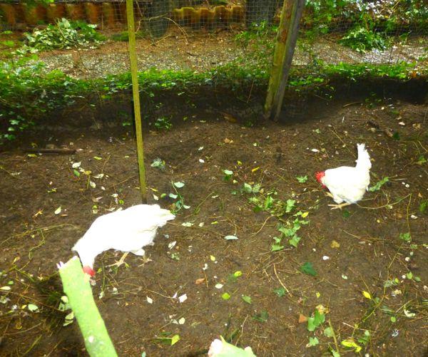 mijn kippen