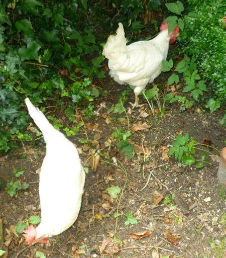 kippen voeding