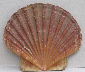 jakobsschelp (platte kant - sluitkant)