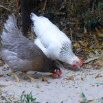 Nieuwe kippen