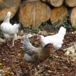 Nieuwe kippen ~ integratie